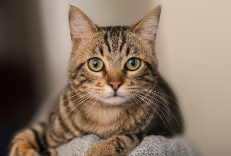 A cat that is looking at the camera Description automatically generated